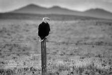 Roadside Bald Eagle, near Colorado/Wyoming border